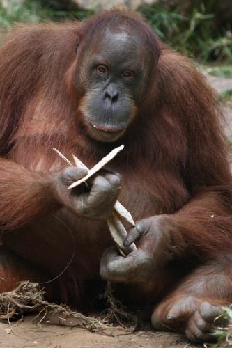 Orangutan_Eating_Matza_500